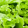 Lettuce Available from TPS Fruit and Veg, Wholesale Suppliers in Aberdeenshire and Moray of Fresh Fruit and Vegetable